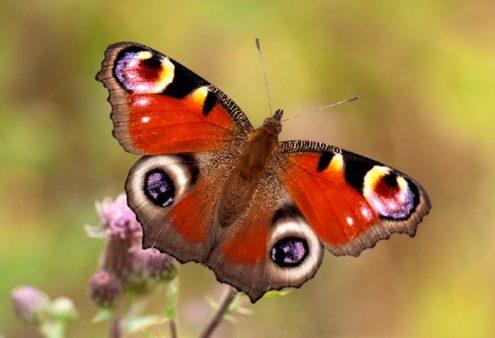 Vlinderseizoen van start met gratis Tuinvlinder app