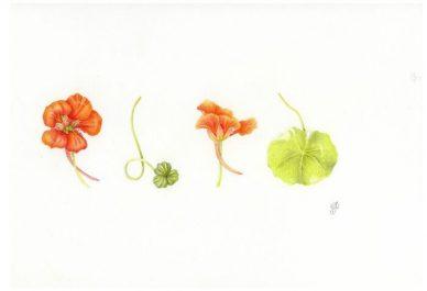 Tuinen Mien Ruys: workshop botanisch tekenen