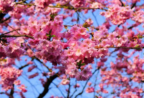 Prachtige Prunussen